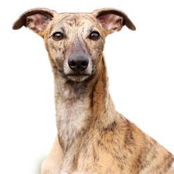 Whippet Terrier